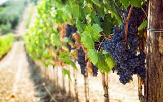 Виноград кишмиш, посадка и уход