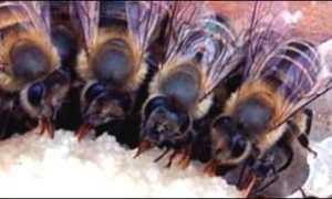 Зимовка пчел